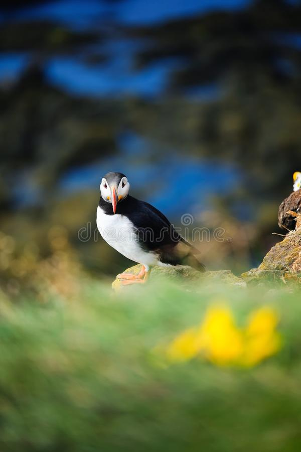 Puffin in Iceland. Seabirds on sheer cliffs. Birds on the Westfjord in Iceland. Composition with wild animals. royalty free stock images