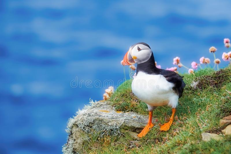 Puffin and sea thrift on a cliff top. Puffin and pink sea thrift on a cliff top with the ocean far below royalty free stock photos