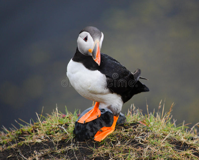 Puffin Poser. An Icelandic Puffin Posing for the camera royalty free stock photography