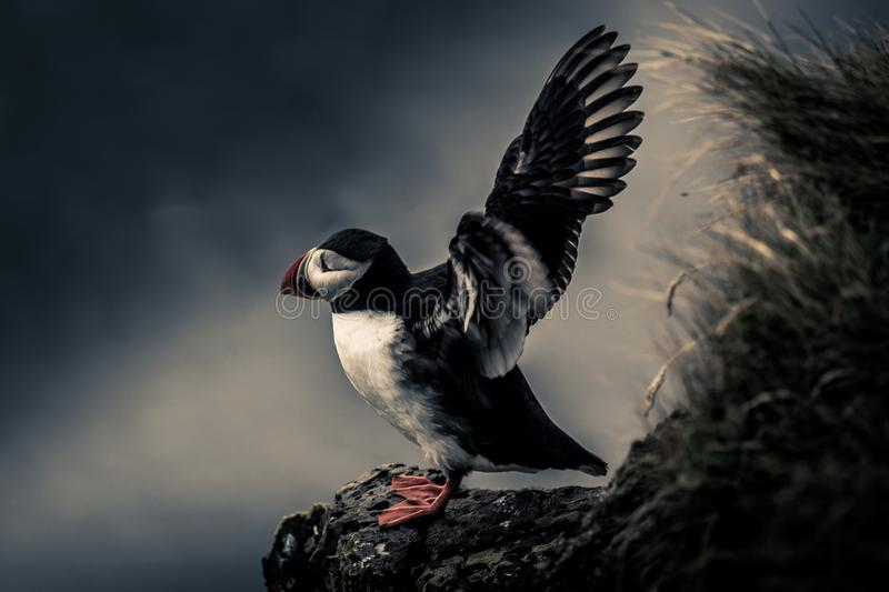 Puffin ready to fly stock photography