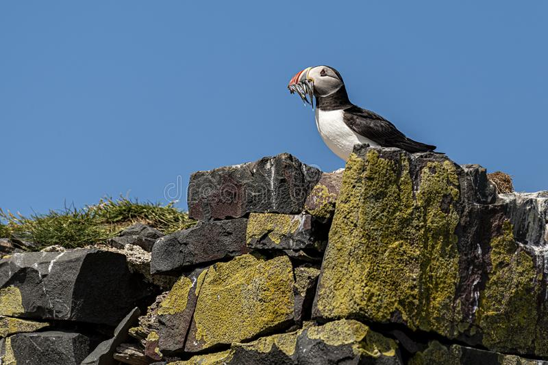 Puffin returing to its burrow with a mouth full of eels. UK, Farne Islands, June 2019 - Puffin returing to its burrow wiht a mouth full of eels royalty free stock photo