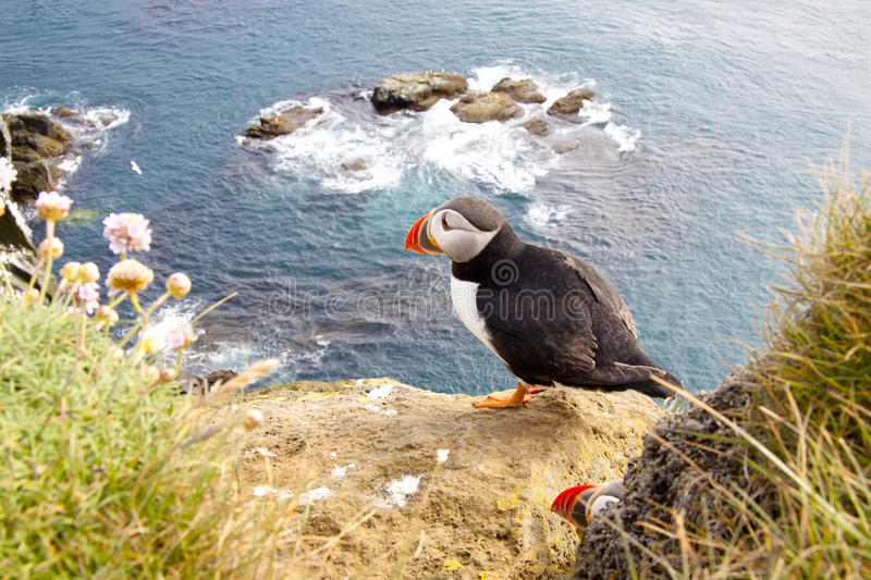 Puffin on the rock - Latrabjarg, Iceland royalty free stock image