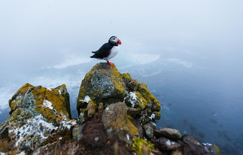 Puffin on the rocks at latrabjarg Iceland. Puffin on the rocks at latrabjarg Iceland, close-up stock image