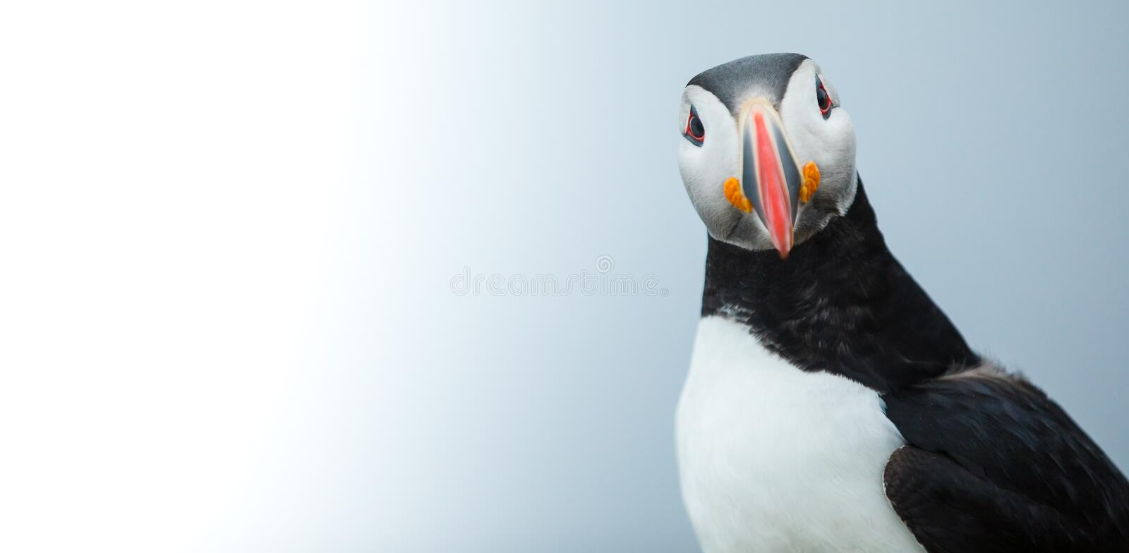 Puffin on the rocks at latrabjarg Iceland. Puffin on the rocks at latrabjarg Iceland, close-up stock photography