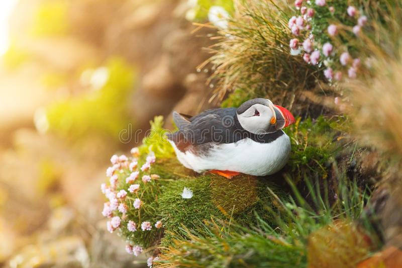 Puffin on the rocks at latrabjarg Iceland. Puffin on the rocks at latrabjarg Iceland, close-up royalty free stock image