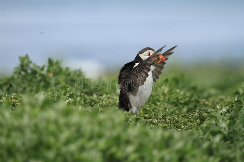 Puffin on the run with wings up. Puffin running through green bushes flapping his wings royalty free stock photography