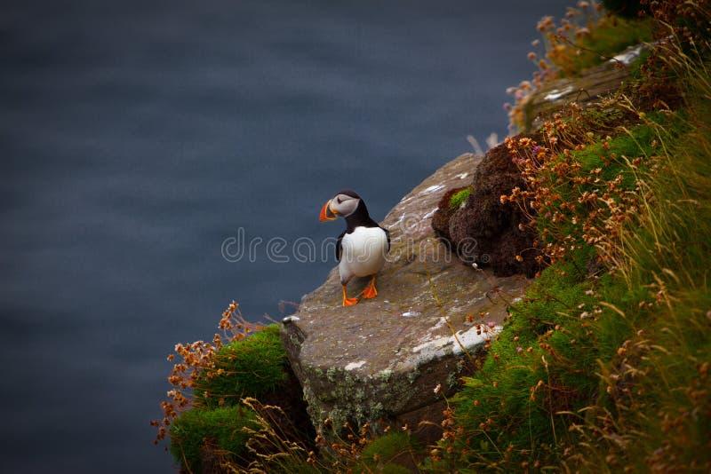 Puffin in Schottland stockbild