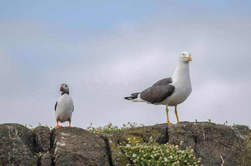 Lone Puffin Seabird with a Gull. Puffin seabirds on the Isle of May, East coast of Scotland stock photography
