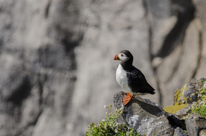Lone Puffin Seabirds. Puffin seabirds on the Isle of May, East coast of Scotland stock images