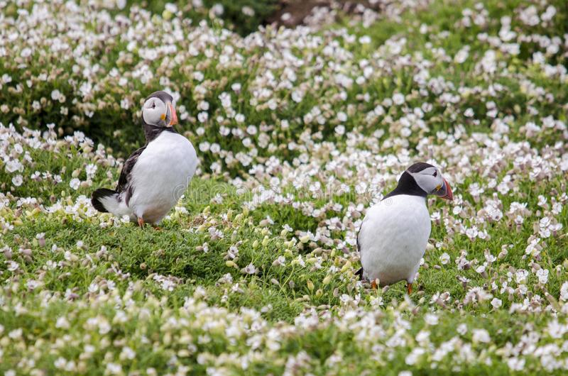 Pair of Puffin Seabirds. Puffin seabirds on the Isle of May, East coast of Scotland royalty free stock image