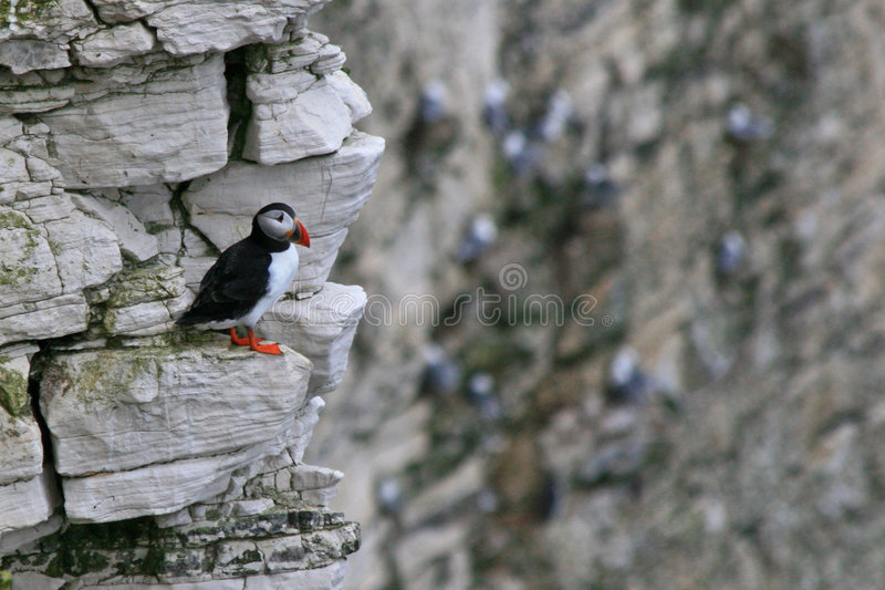 Download Puffin sitting on a rock stock photo. Image of common - 9302586