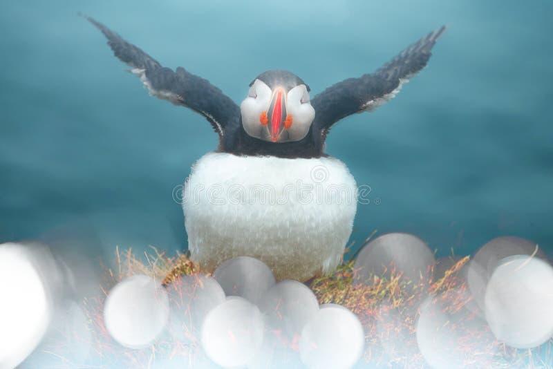 Puffin Vogel spielt im Sommer in Island mit Kamera stockfotografie