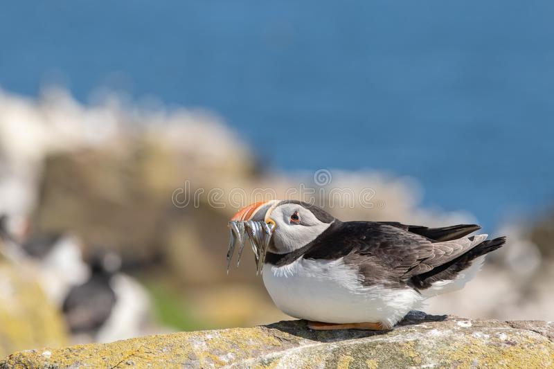 Puffing waiting until the coast is clear. A puffin wifh a mouthful of sand eels waiting until the coast is clear to approach its burrow stock photo