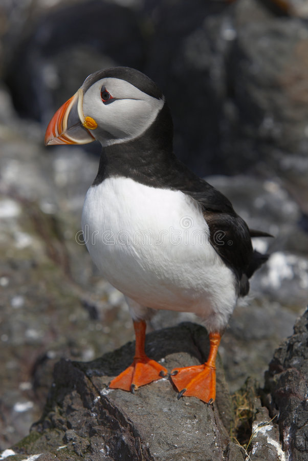 Puffin55 royalty free stock image
