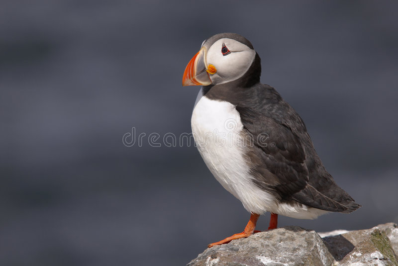 Puffin76. Puffin, Fratercula arctica, standing on rocks, Farne Islands, May, UK stock photography