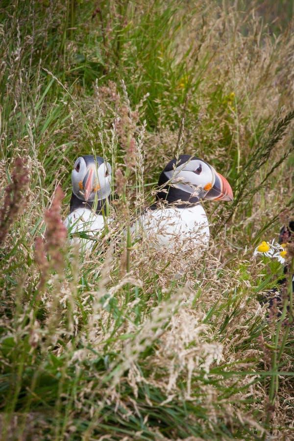 Puffini islandesi nell'erba fotografie stock