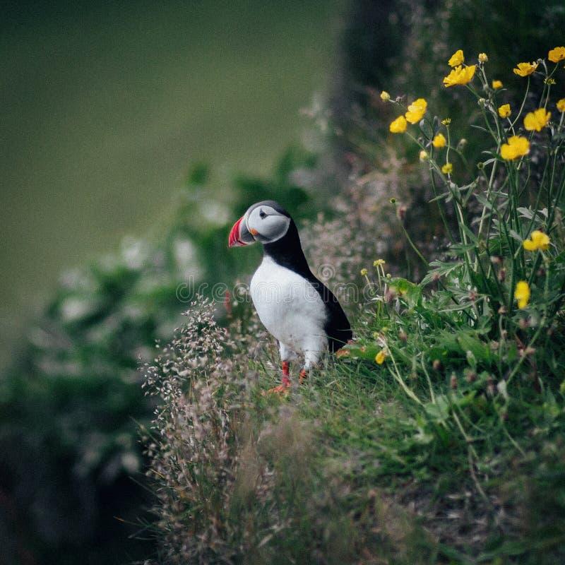 Puffini variopinti sull'Islanda di roccia fotografie stock