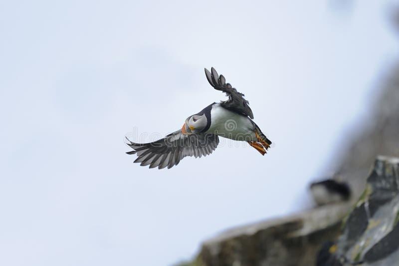 Puffino atlantico, arctica del fratercula fotografia stock libera da diritti