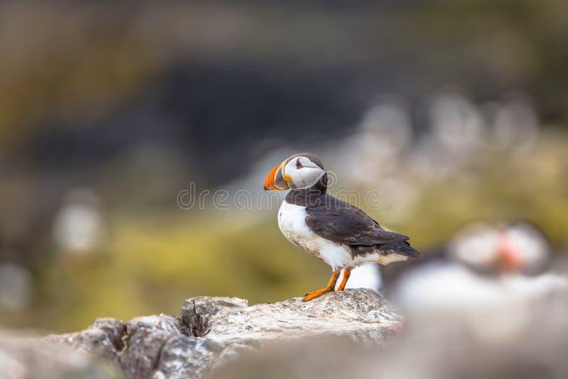 Puffino che sta sulla roccia nella colonia di allevamento fotografia stock libera da diritti