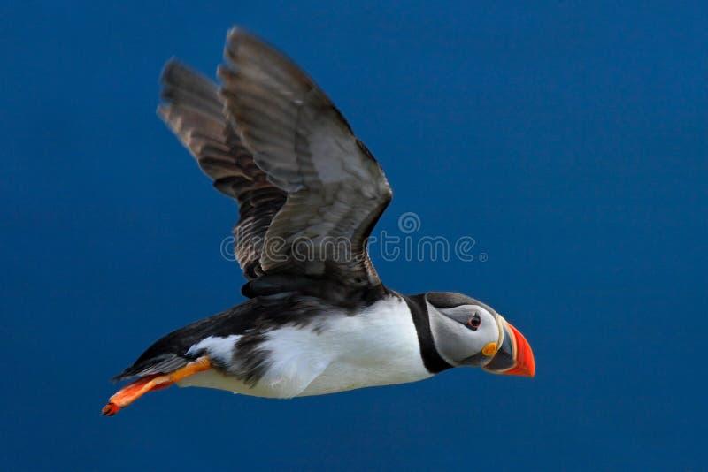Puffino di volo Pulcinella di mare, artica del Fratercula, uccello sveglio in bianco e nero artico con la fattura rossa che si si immagini stock