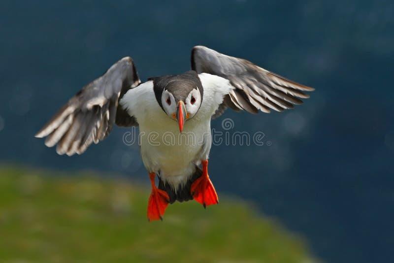 Puffino di volo Uccello sveglio sulla scogliera della roccia Pulcinella di mare, artica del Fratercula, uccello sveglio in bianco fotografia stock libera da diritti