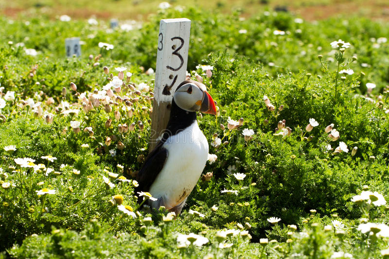 Puffino in erba con i fiori della molla fotografia stock libera da diritti