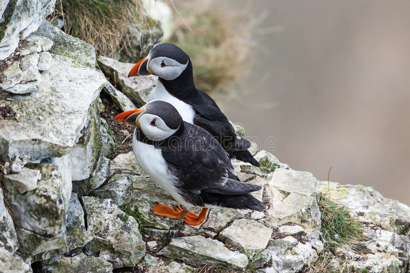 puffins imagens de stock royalty free