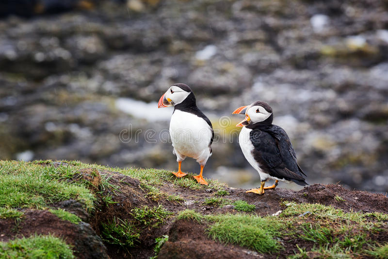 puffins photographie stock