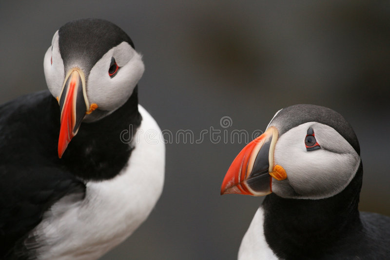 Puffins royalty free stock photo
