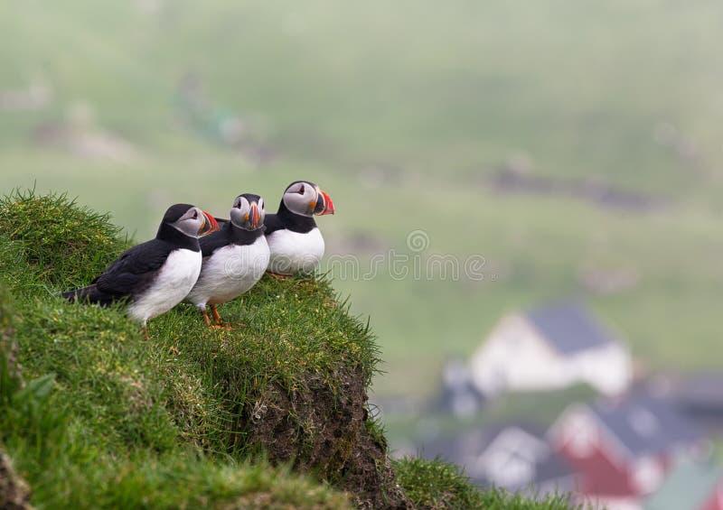 puffins Arctica do Fratercula fotografia de stock royalty free