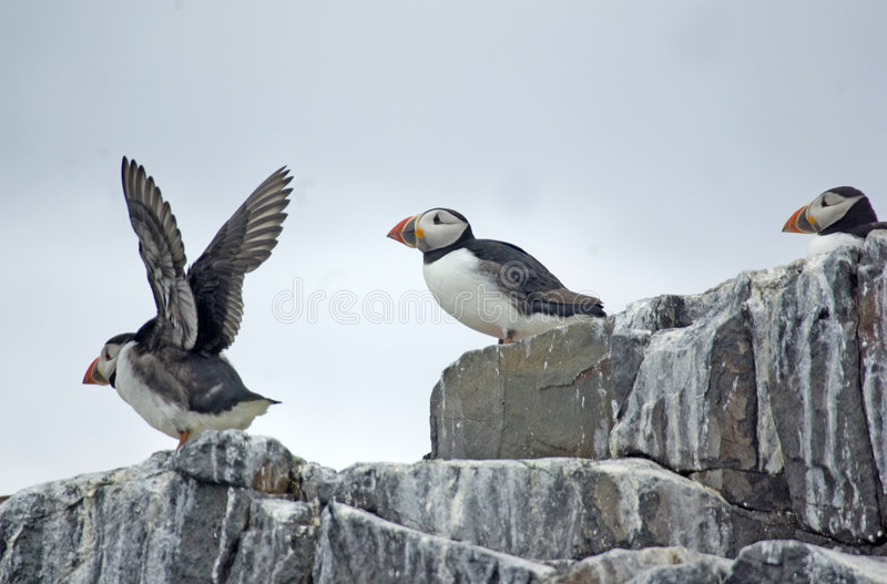 Download Puffins On Cliff Top. Royalty Free Stock Image - Image: 5675616