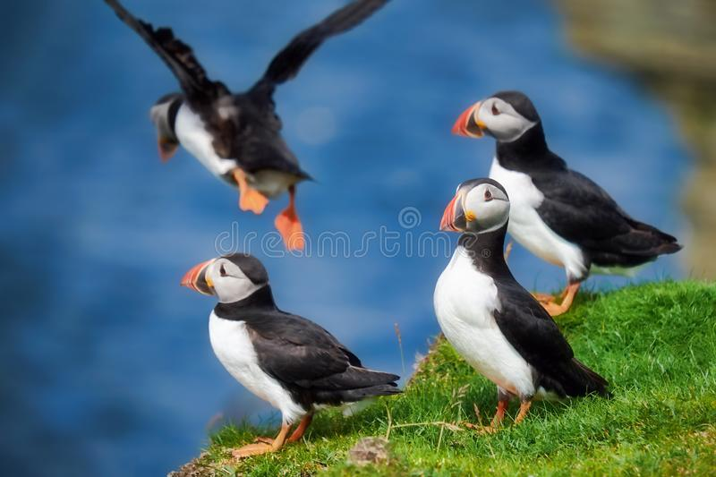 Puffin flying off a cliff royalty free stock photo