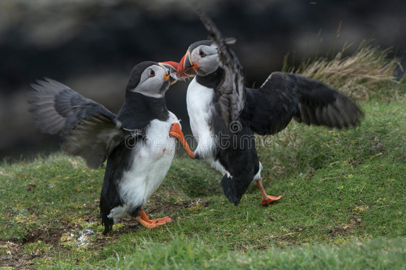 Puffins Fighting. A pair of puffins fighting on the island of Lunga in the Treshnish Islands, April 2017. One puffin is injured and has blood on its face royalty free stock image