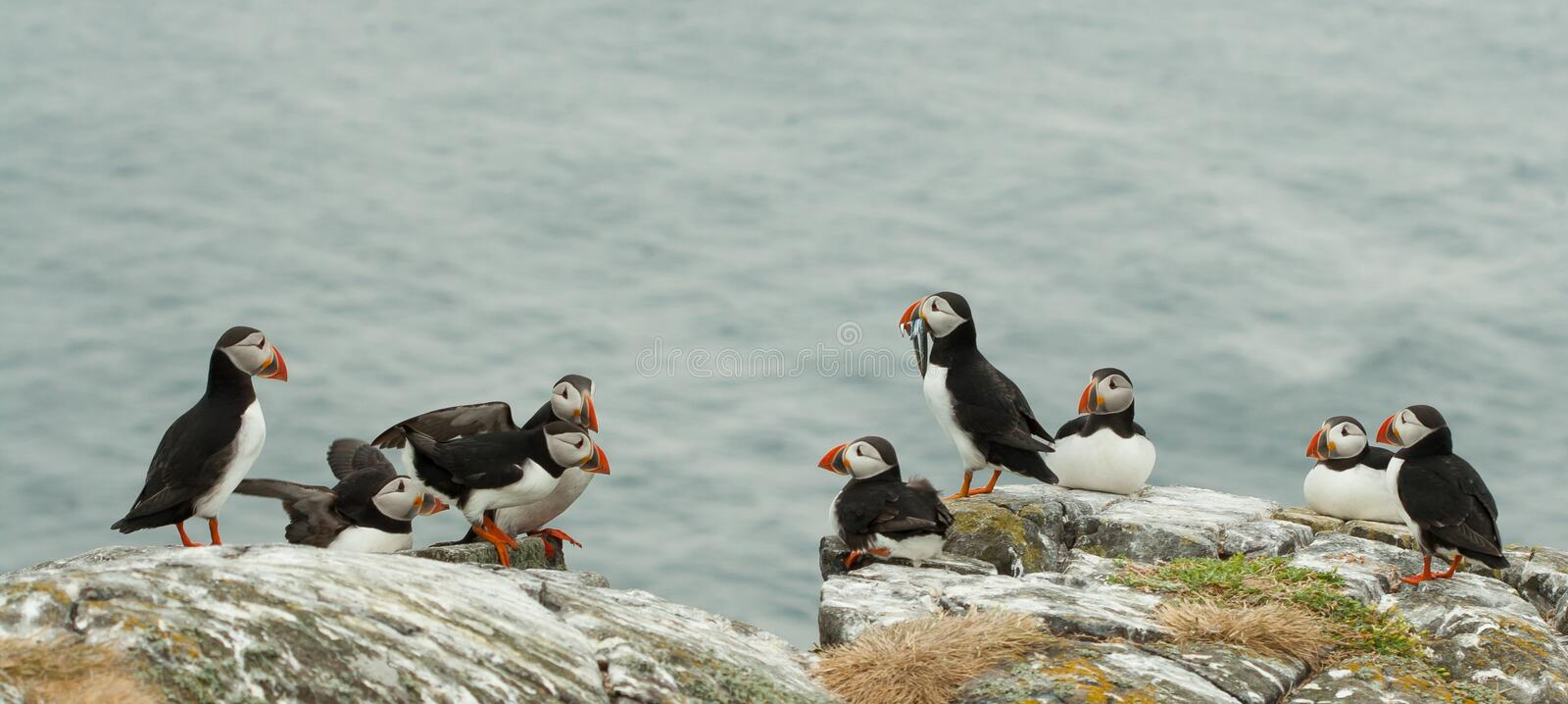 Puffins ( Fratercula arctica ) on a rock. A group of Puffins ( Fratercula arctica ) on a rock stock images