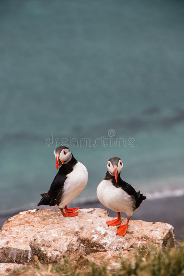 Puffins - Grimsey Island royalty free stock photography