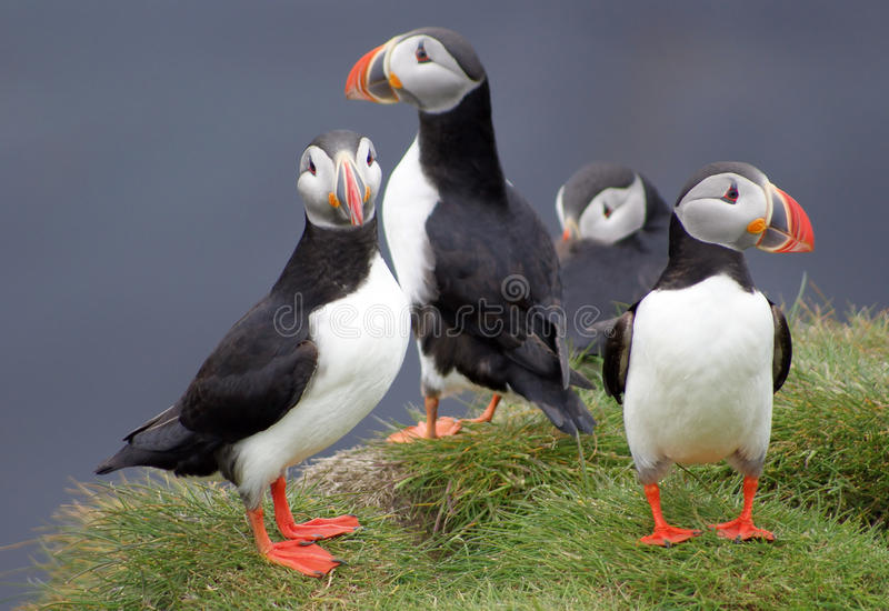 Puffins in Iceland stock image