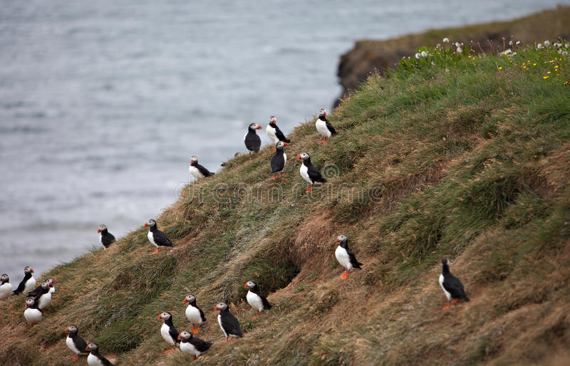 Puffins on Icelandic Cliff. An Atlantic Puffin colony on the cliffs of Grimsey Island, Iceland stock photo