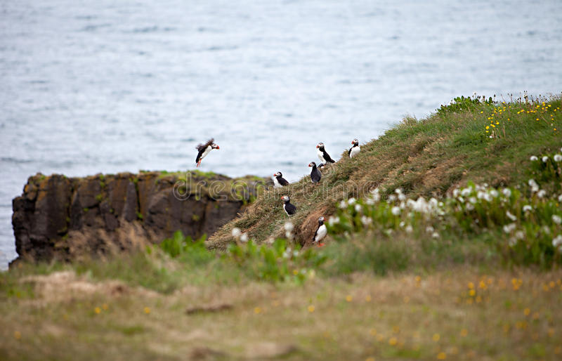Puffins on Icelandic Cliff. An Atlantic Puffin colony on the cliffs of Grimsey Island, Iceland royalty free stock image