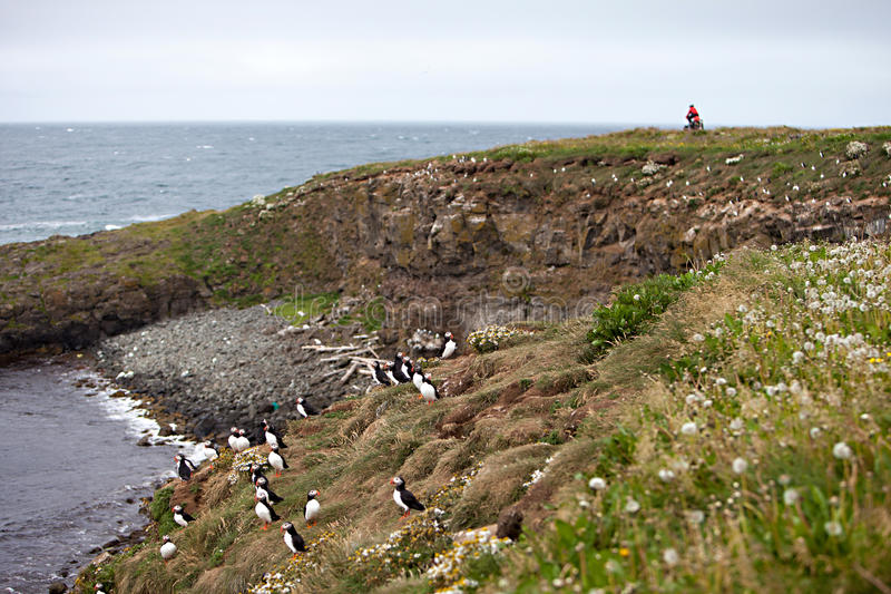 Puffins on Icelandic Cliff. A cyclist rides past an Atlantic Puffin colony on the cliffs of Grimsey Island, Iceland stock photos