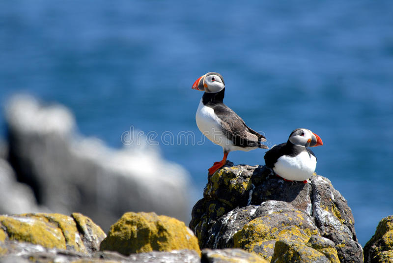 Puffins on Isle of May. A pair of Atlantic Puffins on the Isle of May in Scotland royalty free stock photography