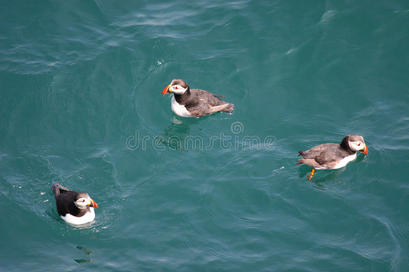 Puffins a plenty. Three puffins swimming royalty free stock image