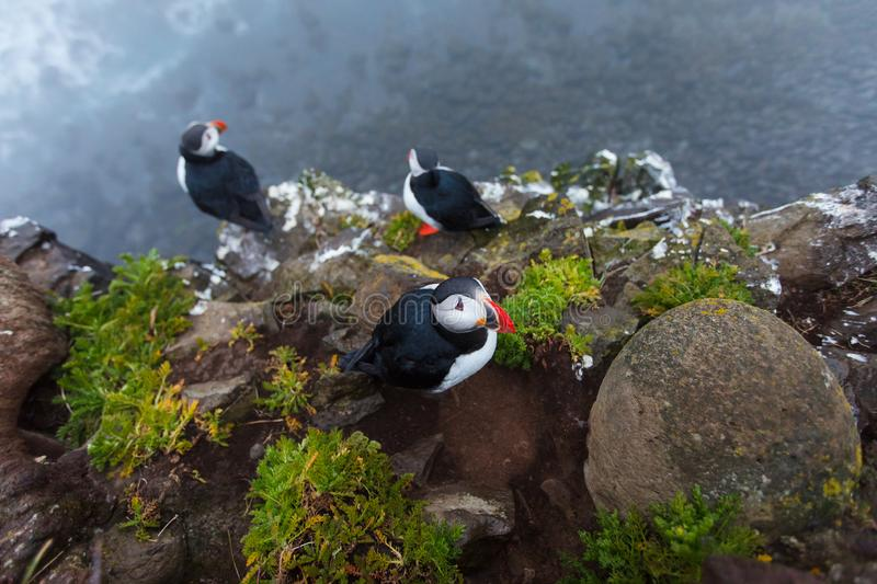 Puffins on the rocks at latrabjarg Iceland. Puffins on the rocks at latrabjarg Iceland, close-up stock photos