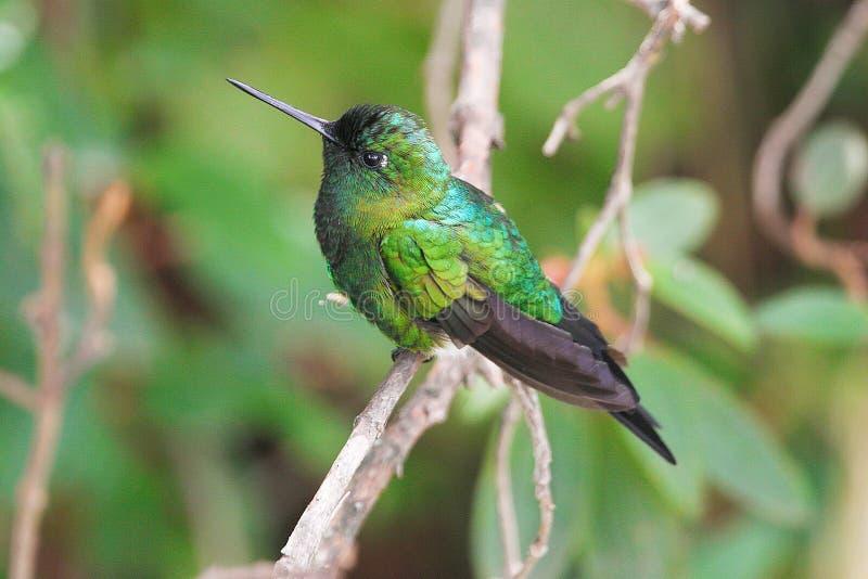 Puffleg Zaffiro-scaricato, colibrì nell'Ecuador fotografie stock libere da diritti