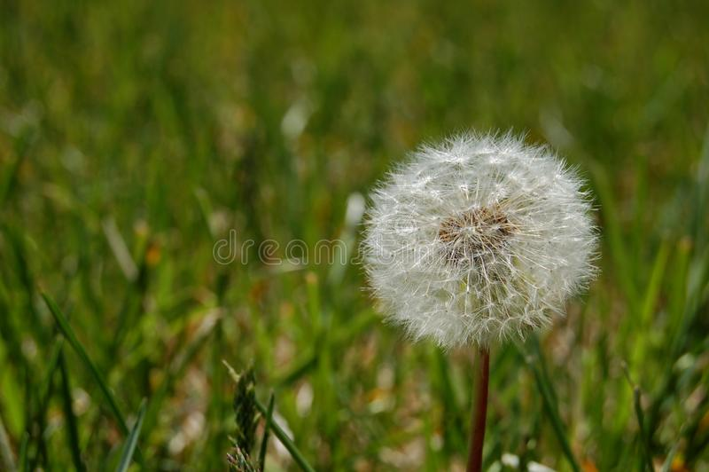 Puffy dandelion stock images