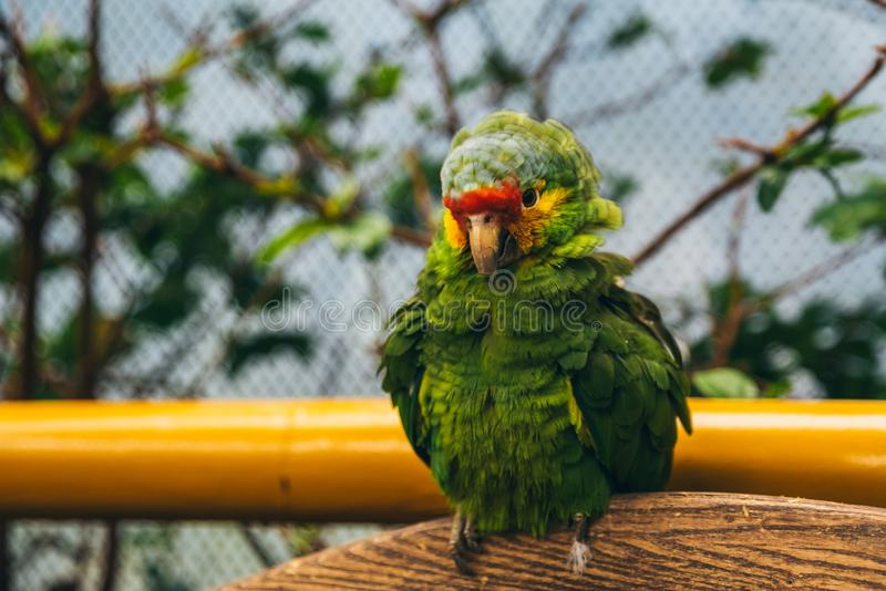 Puffy green yellow and red parrot in an aviary. Puffy green, yellow and red parrot in an aviary standing on wood stock image