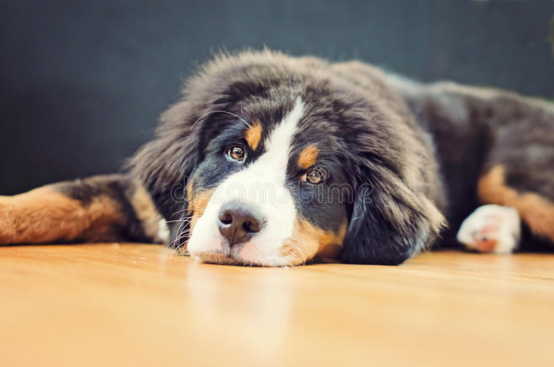 a bernese mountain dog puppy has a puffy head stock photography