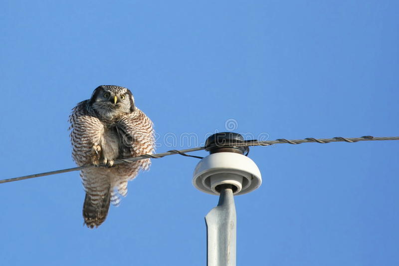 Download Puffy Northern Hawk Owl Stock Images - Image: 22759794