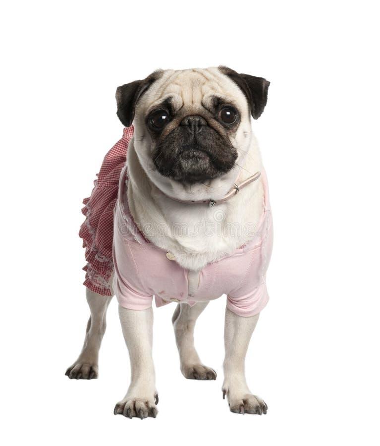 pug одетьнный предпосылкой передний вверх по белизне стоковая фотография rf