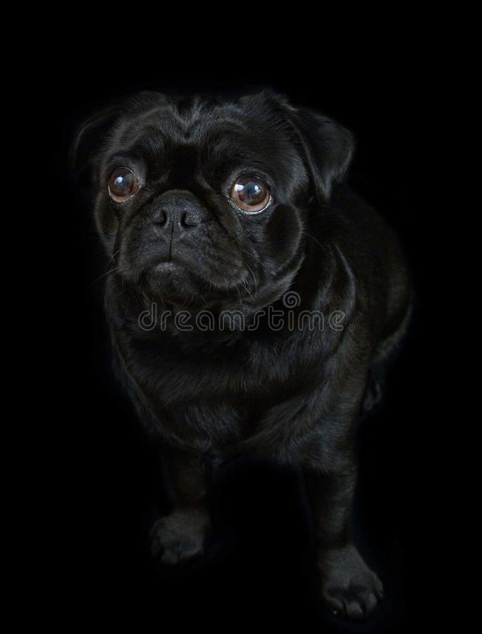 pug черной собаки стоковые изображения