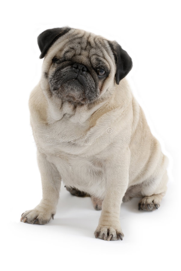Pug. In an Isolated Background